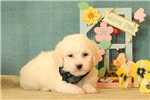 Picture of Wilson / Bichon Frise