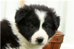 Picture of Lincoln / Border Collie