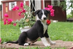 Picture of Kolby / Border Collie