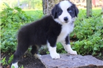 Picture of Daisy / Border Collie
