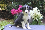 Picture of Allie / Border Collie