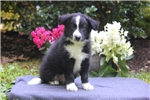 Picture of Ajay / Border Collie