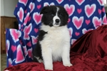 Picture of Leslie / Border Collie