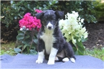 Picture of Amy / Border Collie