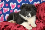 Picture of Lola / Border Collie