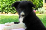 Picture of Lollipop / Border Collie