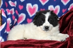 Picture of Layla / Border Collie