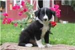 Picture of Kenny / Border Collie