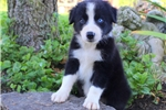 Picture of Darryl / Border Collie