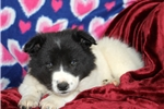 Picture of Liam / Border Collie