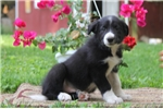 Picture of Kirk / Border Collie