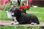 Picture of Kurtis / Border Collie