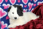 Picture of Lizzy / Border Collie