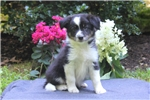 Picture of Adelle / Border Collie