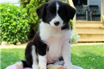 Picture of Sheila / Border Collie