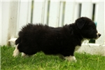 Picture of Lucky / Border Collie