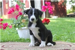 Picture of Kody / Border Collie