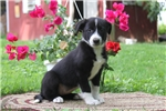 Picture of Kelsey / Border Collie