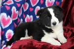 Picture of Leah / Border Collie