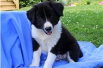 Picture of Buster / Border Collie