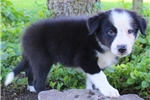 Picture of Diego / Border Collie