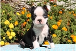 Picture of Ursella / Boston Terrier