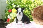 Picture of Basil / Boston Terrier