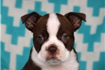 Picture of Presley / Boston Terrier