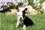 Picture of Chief / Boston Terrier