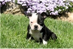 Picture of Checkers / Boston Terrier