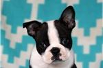 Picture of Elvis / Boston Terrier