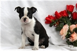 Picture of Peaches / Boston Terrier