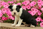 Picture of Seth / Boston Terrier