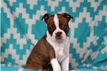 Picture of Daisy / Boston Terrier