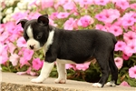 Picture of Scout / Boston Terrier