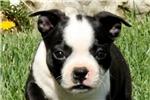 Picture of Cora / Boston Terrier