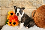 Picture of Dusty / Boston Terrier