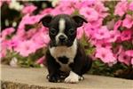 Picture of Sonja / Boston Terrier