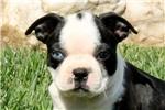 Picture of Carmella / Boston Terrier
