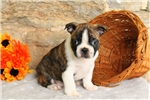 Picture of Dominoes / Boston Terrier
