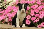 Picture of Sandra / Boston Terrier