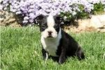 Picture of Caspian / Boston Terrier