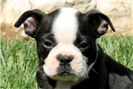 Picture of Connor / Boston Terrier
