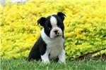 Picture of Wiggins / Boston Terrier