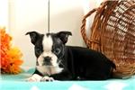 Picture of Alaina / Boston Terrier