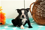 Picture of Andy / Boston Terrier