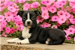 Picture of Scamp / Boston Terrier