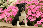 Picture of Sunny / Boston Terrier