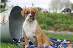 Picture of Tammy / Boxer
