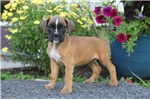Picture of Sparky / Boxer